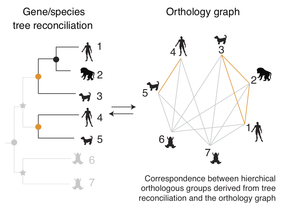 Correspondence between reconcilied tree and orthology graph